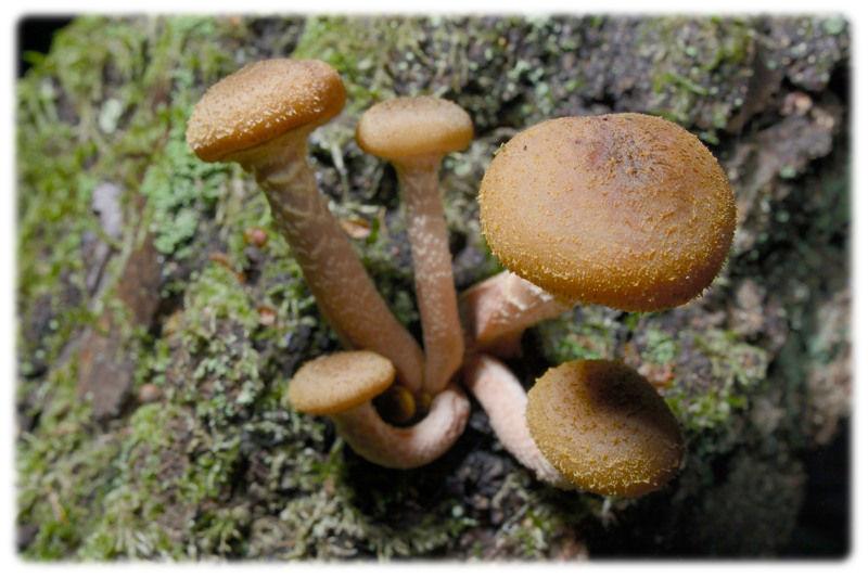 Honeyfungus2312a